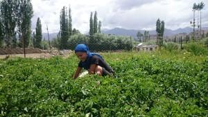 2015 Ladak. Obdělávání brambor.