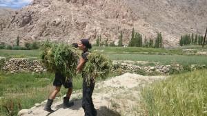 2015 Ladak. Na polích v Phyangu, kam jsme jeli pomoci rodině našich přátel.